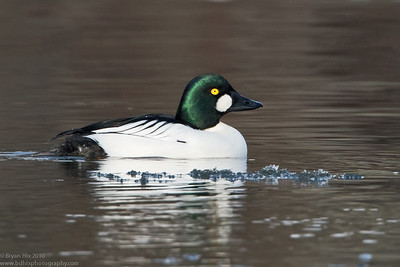 Common Goldeneye drake on icey Fox River