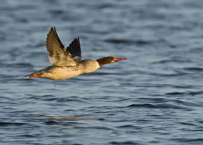Common Merganser Hen in flight