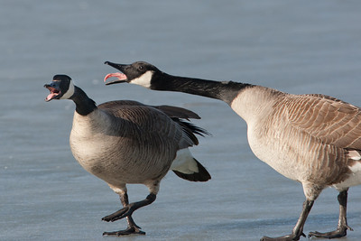 Canada Geese, domestic dispute