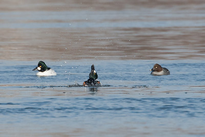 Drake Goldeneye kicking water in breeding display.