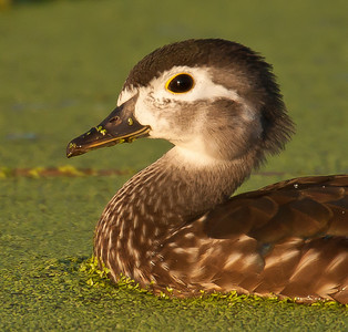 Immature Wood Duck Hen