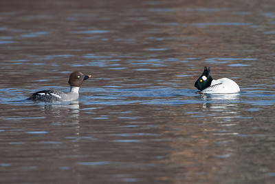 Drake Goldeneye displaying head throw