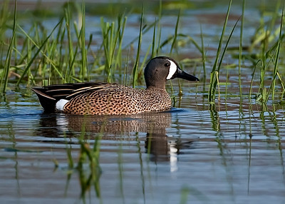 Blue-winged teal on marsh