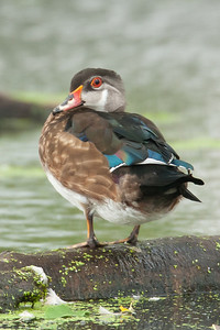 Wood Duck drake in summer plummage on log