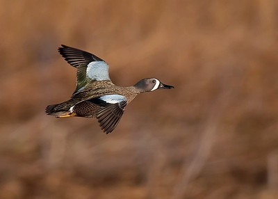 Blue-winged teal flight