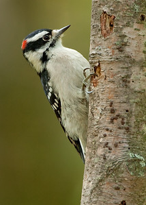 Downy woodpecker-Male