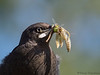 Brewer's Blackbird immature male with food