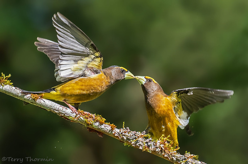 Evening Grosbeaks confrontation