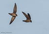Vaux's Swifts flying into a chimney