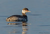 Horned Grebe winter