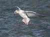 Bonaparte's Gull juvenile in flight