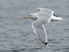 Iceland (Thayer's) Gull in flight