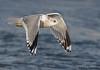 Mew Gull winter