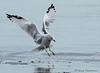 Ring-billed Gull winter landing