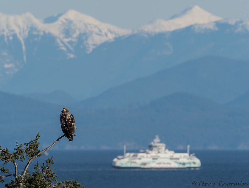 Bald Eagle 3rd year and ferry