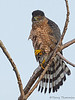 Cooper's Hawk, adult female