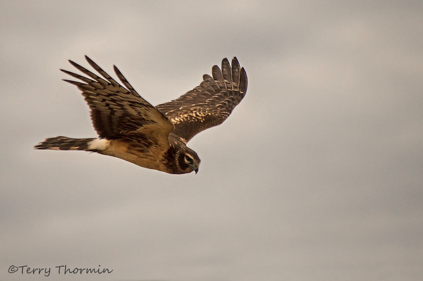 Northern Harrier