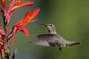 Anna's Hummingbird juvenile male nectaring