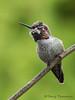 Anna's Hummingbird subadult male