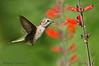 Anna's Hummingbird female nectaring female