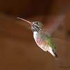 Calliope Hummingbird in flight