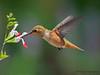 Rufous Hummingbird nectaring