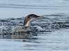Common Loon aggression
