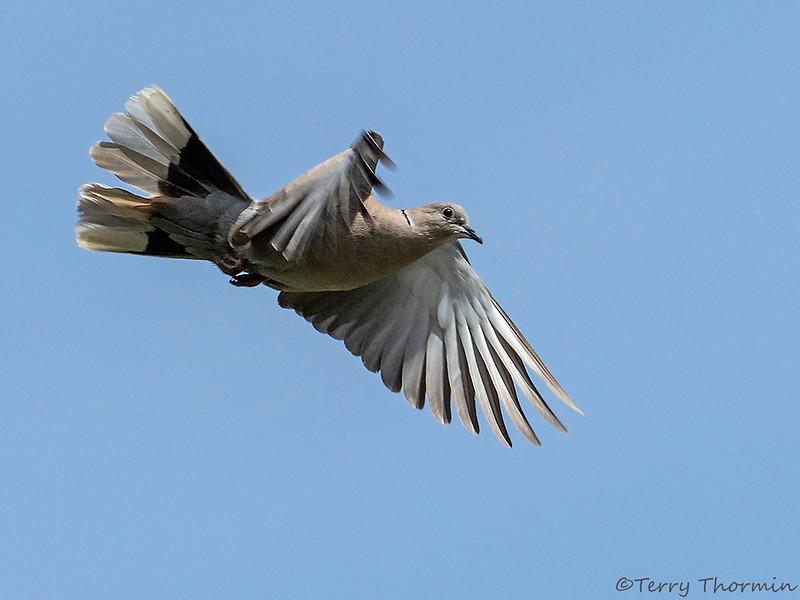 Eurasian Collared Dove in flight
