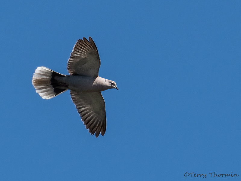 Eurasian Collared Dove in flight