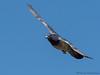 Rock Pigeon in flight