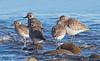 Black-bellied Plovers winter
