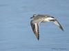 Black-bellied Plover winter in flight