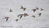 Black-bellied Plovers and Dunlin winter in flight