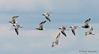 Black-bellied Plovers in flight
