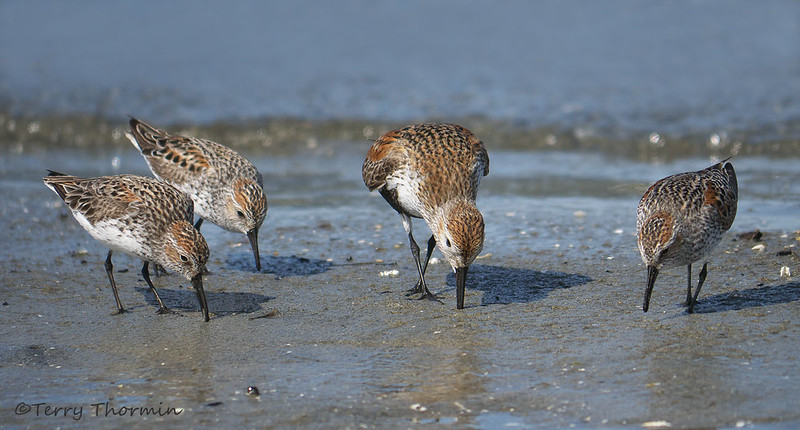 Western Sandpipers and Dunlin