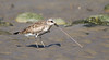 Black-bellied Plover with worm