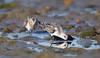 Sanderlings (nonbreeding)