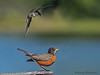 Tree Swallow dive bombing an American Robin