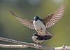 Tree Swallows about to mate