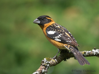 Tanagers and Grosbeaks