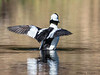 Bufflehead wing flapping