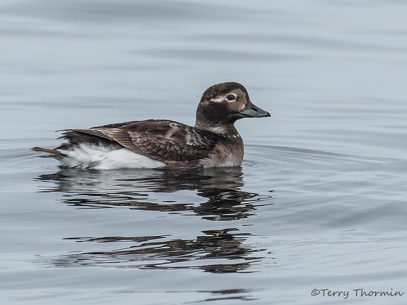 Long-tailed duck breeding female