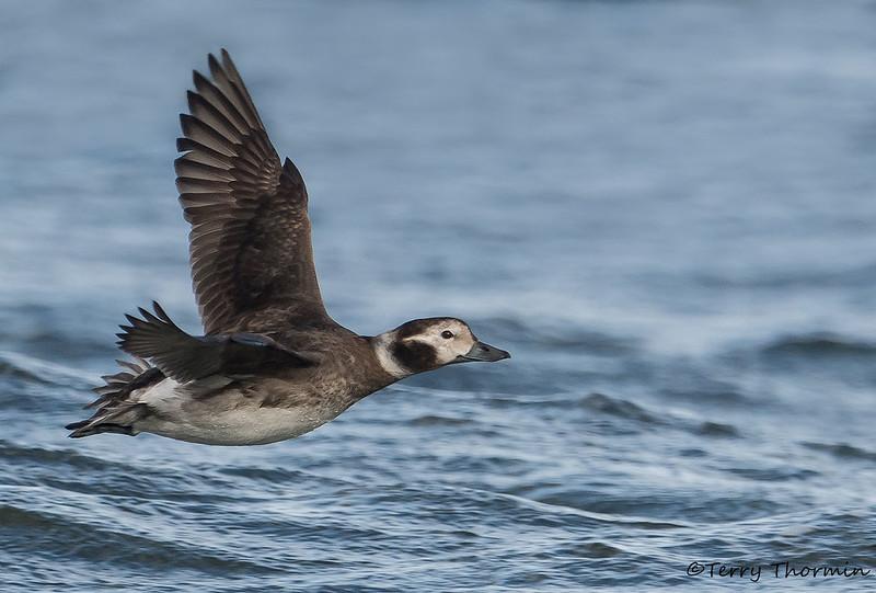 Long-tailed Duck female in flight