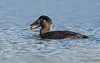 Surf Scoter female with clam