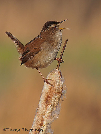 Wrens and Dippers