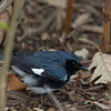 Black throated blue
