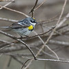 Adult Male Yellow Rumped Warbler