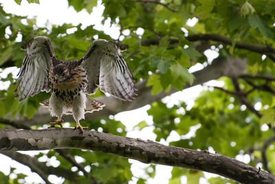 Redtail Hawks