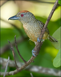 Fasciated Antshrike, female