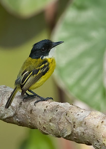 Black-headed tody flycatcher